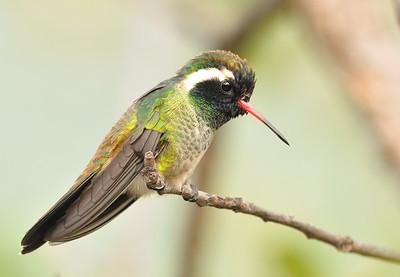 White-eared Hummingbirds