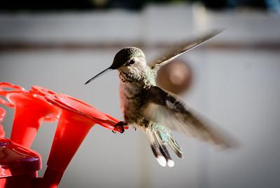 Hummingbird-17