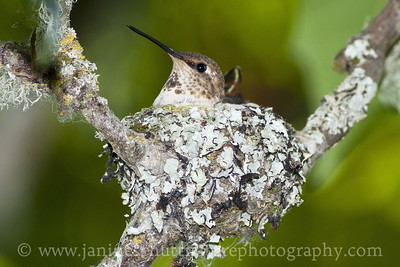 Female Rufous Hummingbird in nest at Nisqually National Wildlife Refuge near Olympia, Washington. Photo taken along the Twin Barns Loop Trail.