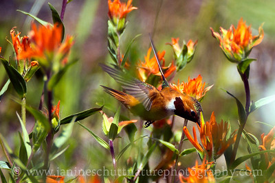 Male Rufous Hummingbird sipping nectar from Indian paintbrush.  Photo taken from the parking area of the Norway Pass Trailhead, at the Mt. St. Helens National Volcanic Monument in Washington.