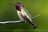 Male Anna's Hummingbird near Bremerton, Washington.