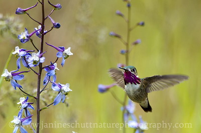 Male Calliope Hummingbird near the nature trails at the Leavenworth National Fish Hatchery in Leavenworth, Washington.