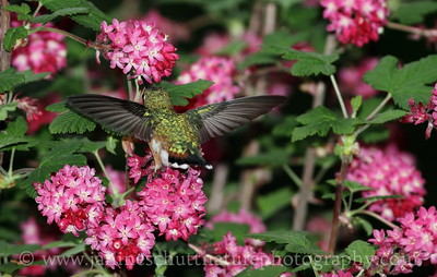 Female Rufous Hummingbird sipping nectar from red-flowering currant.  Photo taken near Bremerton, Washington.