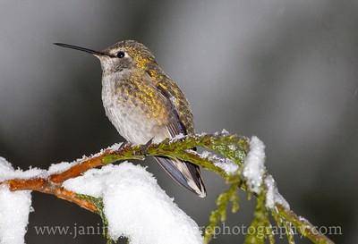 Female Anna's Hummingbird on a snowy western red cedar branch contemplating why it doesn't migrate to a warmer winter climate.  Photo taken near Bremerton, Washington.