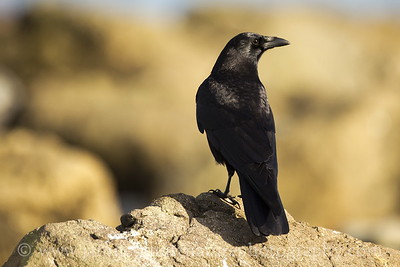 American Crow at Ediz Hook in Port Angeles, Washington.