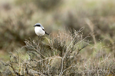Loggerhead Shrike at Swanson Lakes Wildlife Area near Creston, Washington.