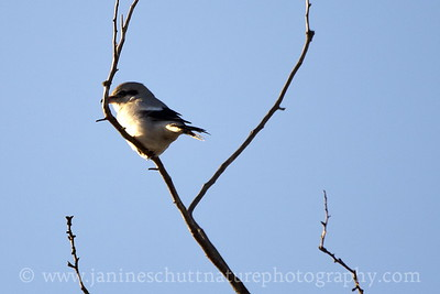 Northern Shrike in Stanwood, Washington.