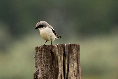 Loggerhead Shrike near the entrance to the Long Lake National Wildlife Refuge in Burleigh County, North Dakota.