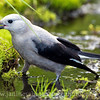 Clark's Nutcracker with its prized find at Paradise, Mt. Rainier National Park in Washington.