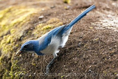 California Scrub-Jay with a beak full of bugs.  Photo taken at the Carty Unit of the Ridgefield National Wildlife Refuge near Ridgefield, Washington.