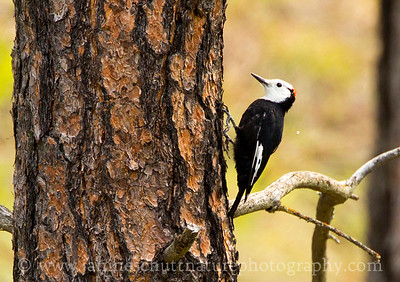 Male White-headed Woodpecker foraging on a ponderosa pine.  Photo taken at Little Pend Oreille National Wildlife Refuge near Colville, Washington.