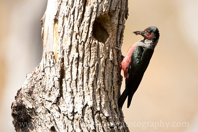 Lewis's Woodpecker at its nest hole. Photo taken at the Oak Creek Wildlife Area near Naches, Washington.