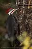 Male Pileated Woodpecker at Kitsap Lake Park near Bremerton, Washington.