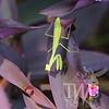 Praying Mantis at Mo. Botanical Gardens