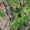 early evening with a Red-bellied Woodpecker