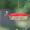 time to pose, a Ruby-throated Hummingbird