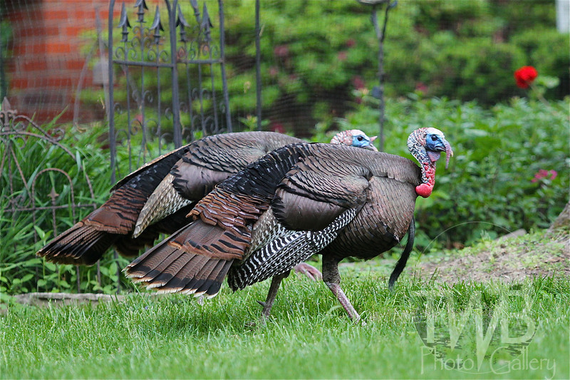 two Turkeys, front yard visitors