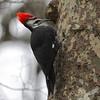 Pileated Woodpecker St. Louis, Missouri.