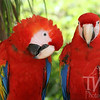 A pair of macaws pose for the camera in Xcaret, Mexico.