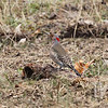 """"""" grounded"""" a Northern Flicker"""