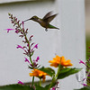 Ruby throated hummingbird finds a flower.