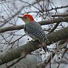 Red-bellied Woodpecker , take 2