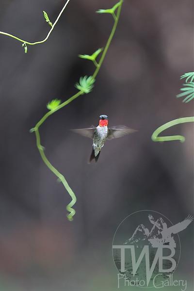 a Ruby-throated Hummingbird