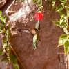 Hummingbird samples a flower.