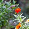 Hummingbird samples a garden flower.