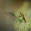 safe shadow companion  Praying Mantis