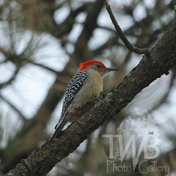 Red-bellied Woodpecker in Queeny Park