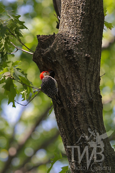 a Red-bellied Woodpecker in Forest Park