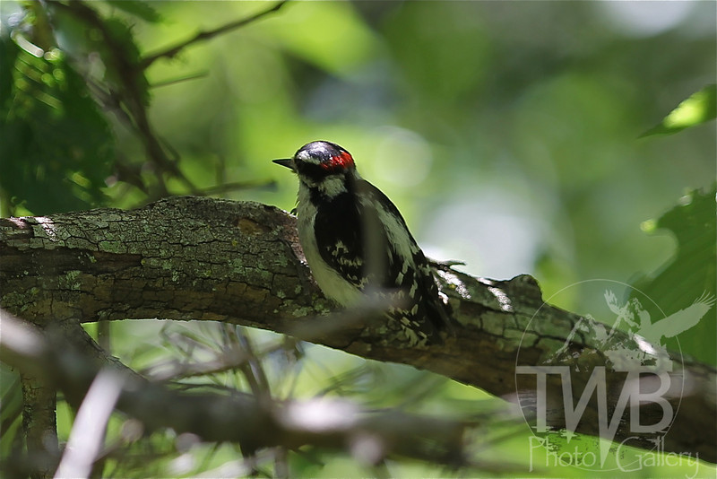 a Downy Woodpecker in Queeny Park