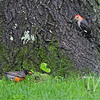 a Red-bellied Woodpecker with a look at a Robin