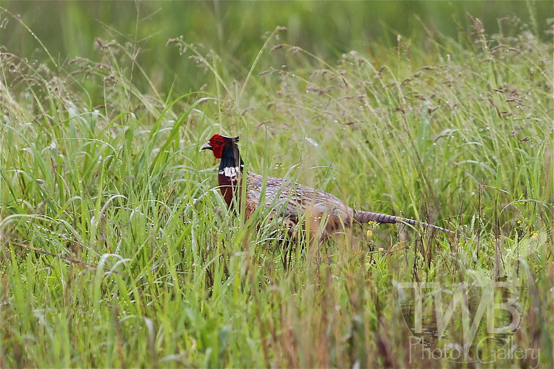 tall grass can't hide this Ring-necked Pheasant