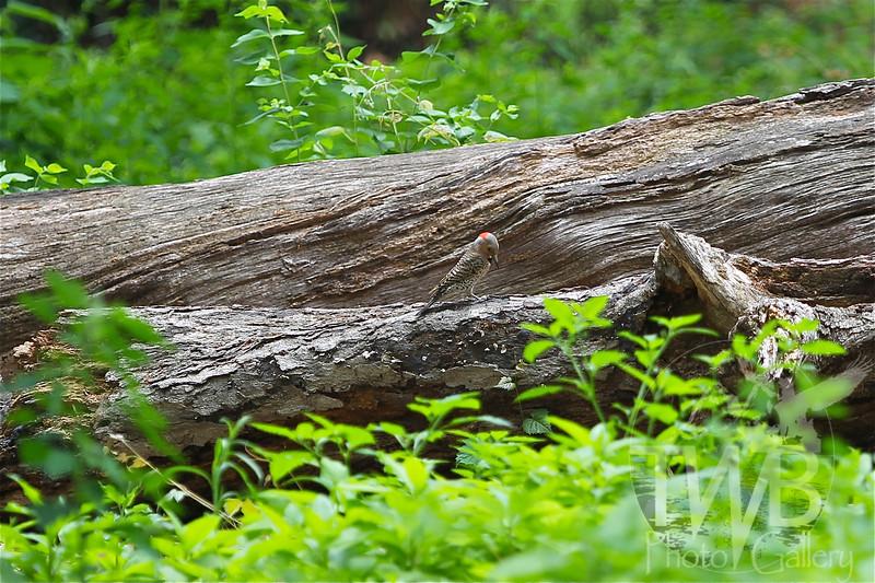 Northern Flicker in the woods of Wild Acres