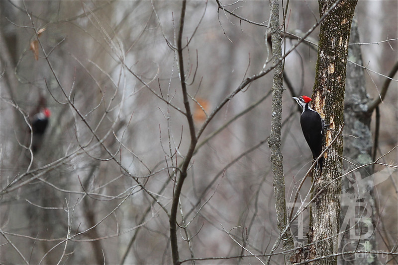 a pair of Pileated Woodpeckers