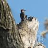 Red bellied Woodpecker in Forest Park