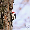 Red-headed Woodpecker poses for the camera.