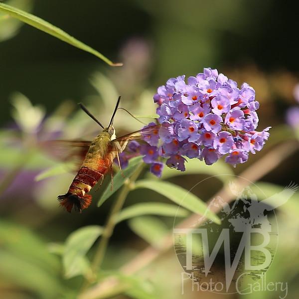 Hawk Moth meet butterfly bush