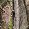 a Pileated Woodpecker at Creve Coeur Lake, Mo.