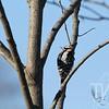 Hairy Woodpecker in St. Louis, Missouri.