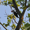 early evening finds a Pileated Woodpecker