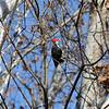 a Piliated Woodpecker