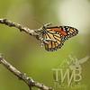 a true monarch