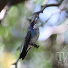 White Chinned Sapphire Hummingbird in Arizona.