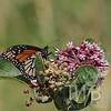 monarch on the milkweed