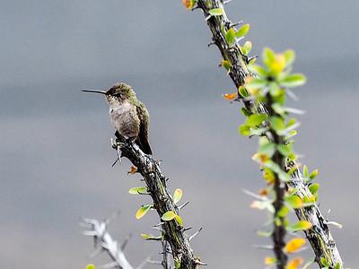 Hummingbirds and Coachie