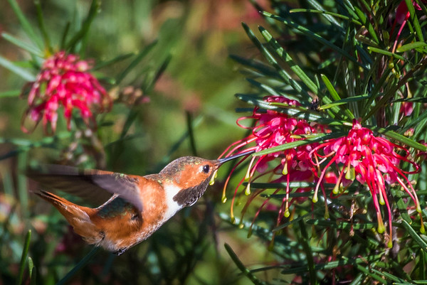 Allen's Hummingbird | Pictures of hummingbirds, UC Santa Cruz Arboretum