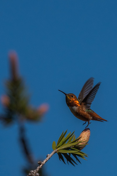 Allen's Hummingbird | Pictures of hummingbirds, UC Santa Cruz Arboretum